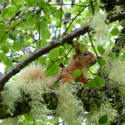 Red squirrel on the tree outside Saddle Mountain Hostel